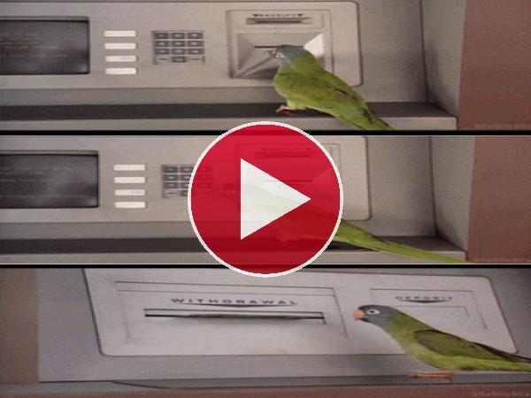 GIF: Cotorra sacando dinero del cajero