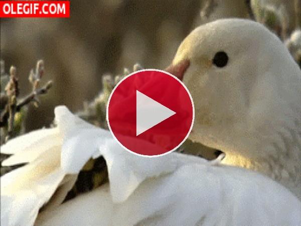 GIF: Patito entre las plumas de mamá