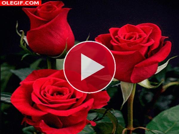 Tres hermosas rosas meciéndose con el viento