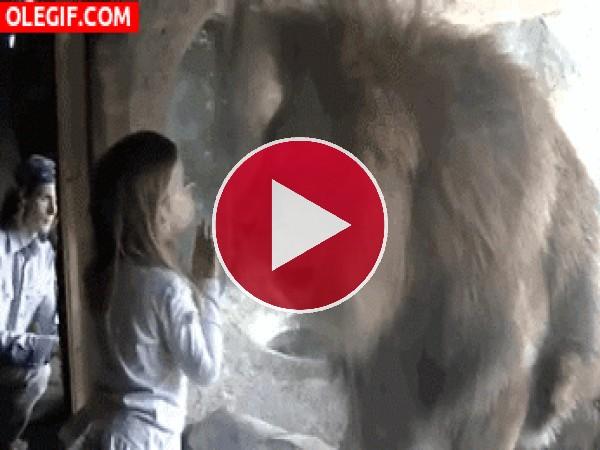 GIF: A esta niña no le da miedo el león