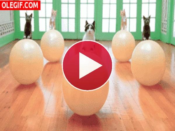 GIF: Gatos en clase de pilates