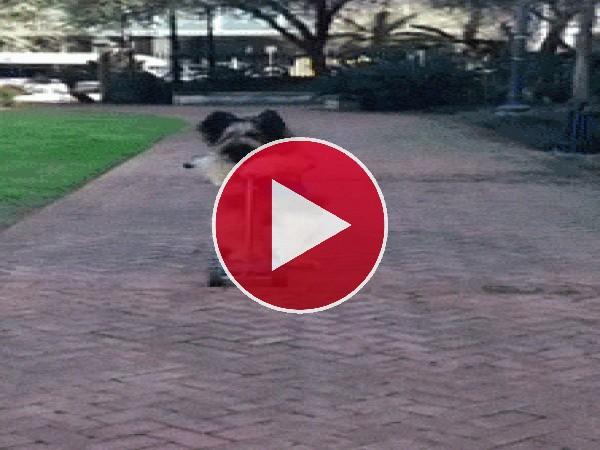 Perro montado en un patinete