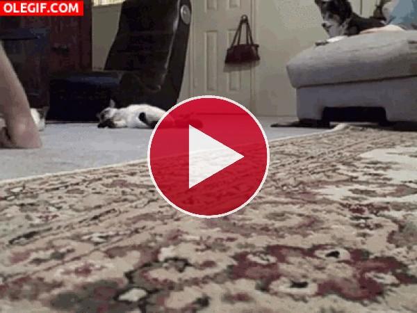 Limpiando el suelo con el gato