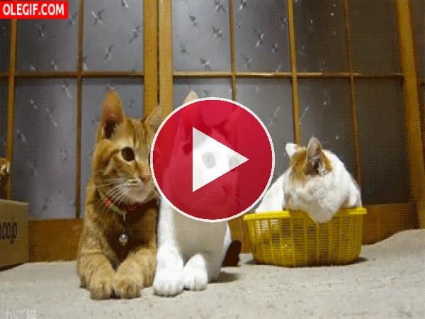 Gatos siguiendo un partido de ping-pong