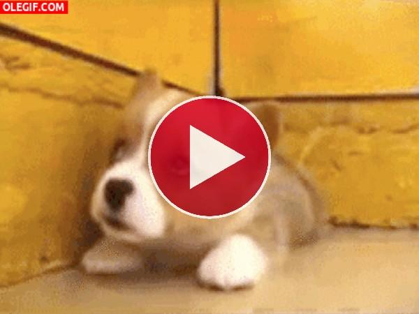 Un pequeño cachorro sacando la lengua