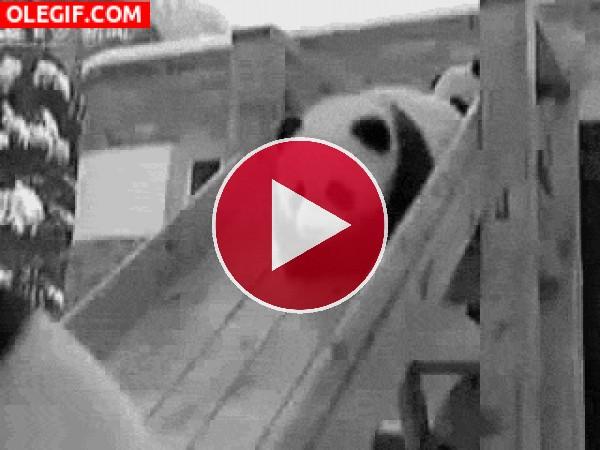 Osos panda cayendo por un tobogán