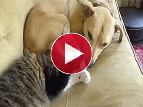 Gato acariciando el hocico de su amigo perruno
