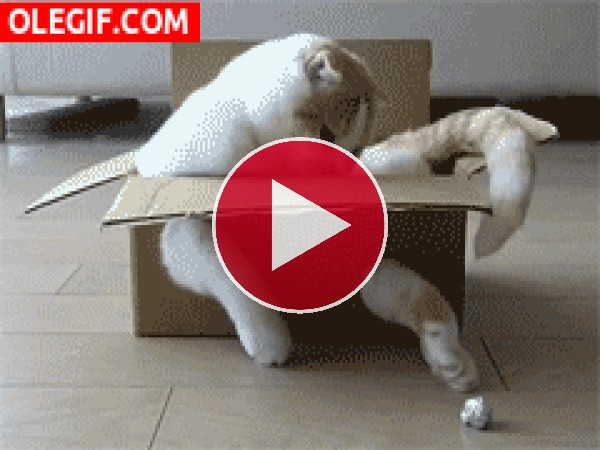 GIF: Un gato atrapado en una caja