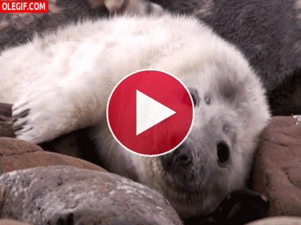 Esta pequeña foca baila sobre las piedras