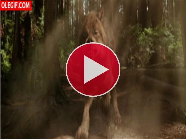 GIF: Un lobo muy cabreado
