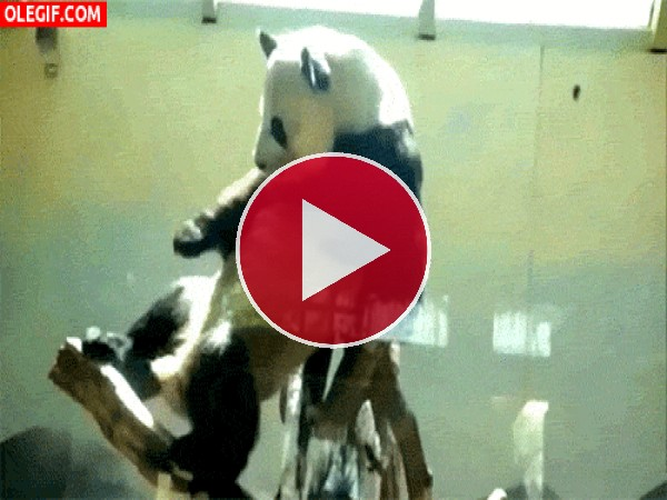 GIF: Este panda macho necesita compañía