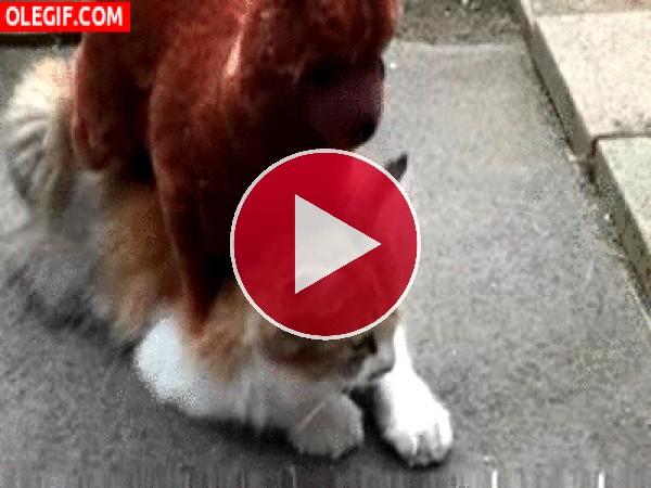 GIF: A este gato le relaja tener un muñeco encima