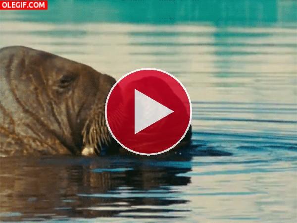 Morsa con su cría en el agua