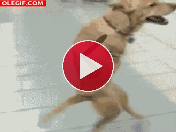 GIF: Un chistoso perro caminando y saludando