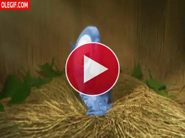 El pequeño Blu bailando en el nido