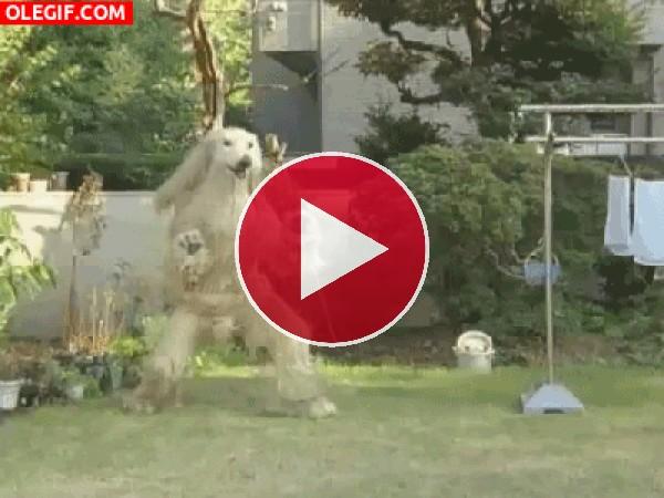 Este perro ejercita las patas traseras
