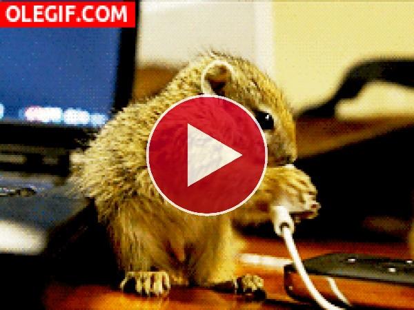 GIF: Mira a esta pequeña ardilla mordisqueando el auricular