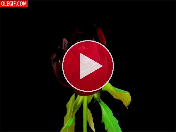 GIF: Rosa abriendo todos los pétalos