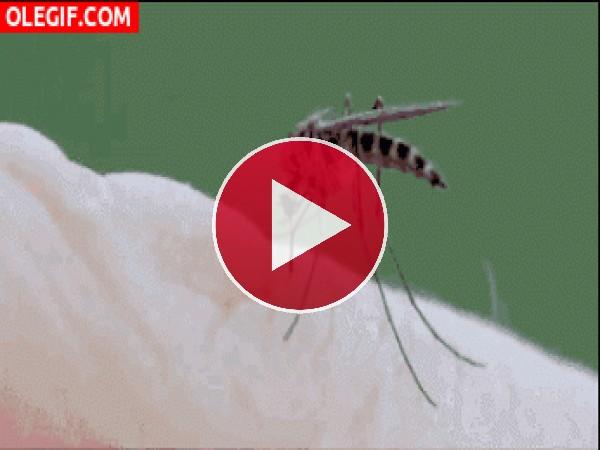 GIF: La picadura de un mosquito