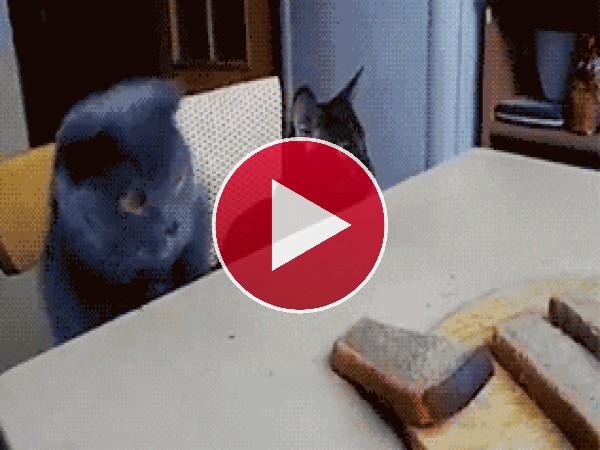 GIF: A este gato le gusta el pan