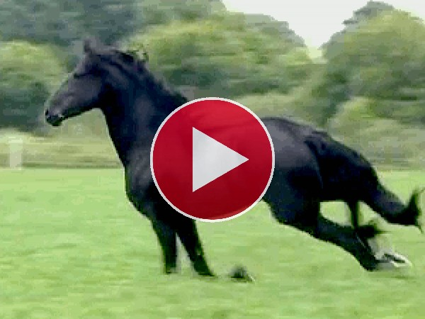 Mira a este hermoso caballo negro trotando