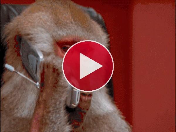 GIF: Este mono está concentrado en sus negocios