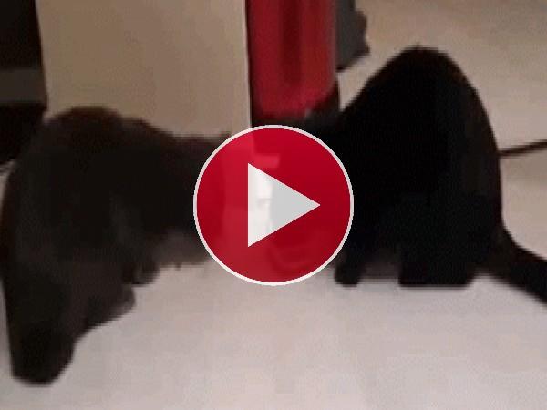 GIF: A estos gatos les gusta compartir la comida