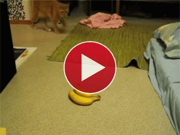 Vaya respingo da este gato al ver las bananas
