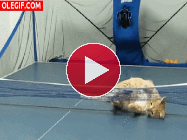 A este gato le divierte jugar al ping-pong