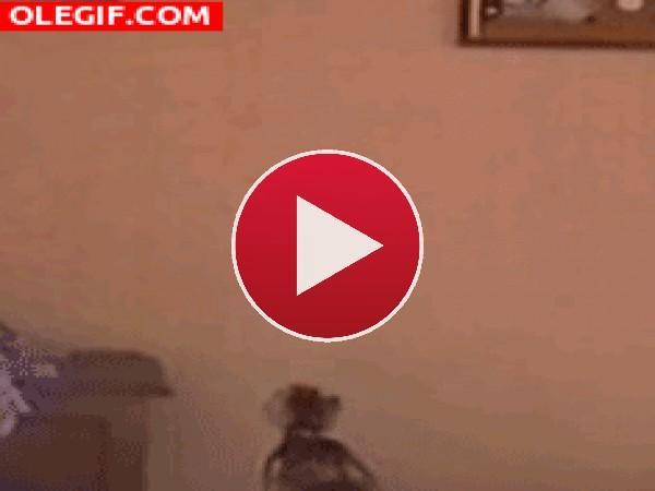GIF: ¡El gato araña!