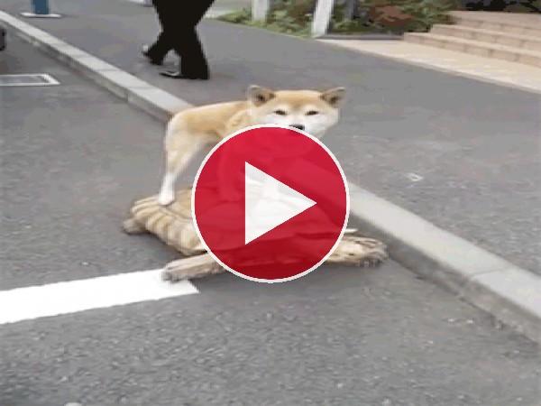 GIF: A este perro le gusta pasear sobre la tortuga