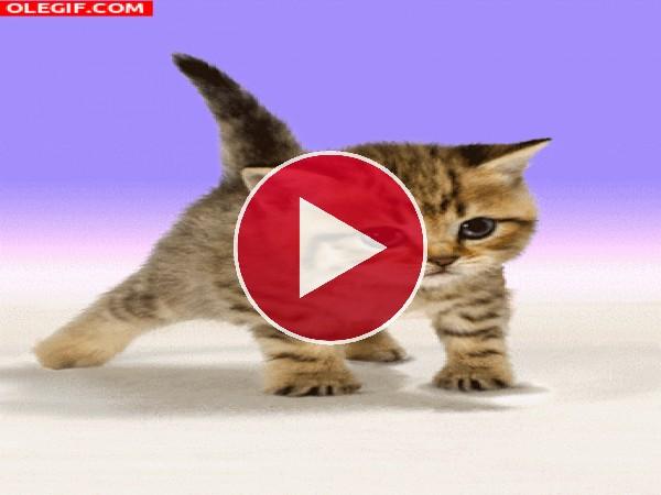 GIF: Gato haciendo flexiones