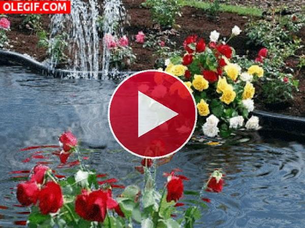GIF: Lluvia sobre un estanque con flores