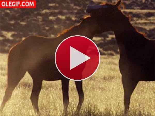 Mira a estos caballos peleando