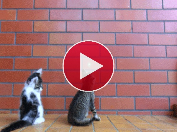 GIF: El gato guardaespaldas