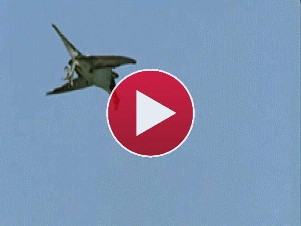 Mira al águila capturando un pez