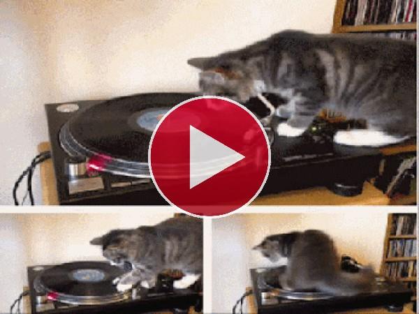 GIF: Este gato la está liando en el tocadiscos