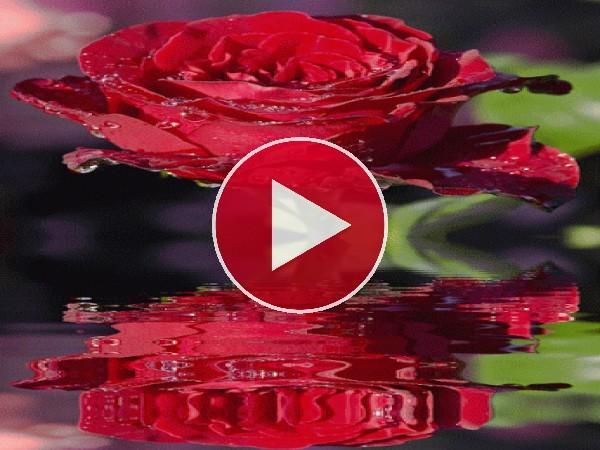 Rosa reflejada en el agua