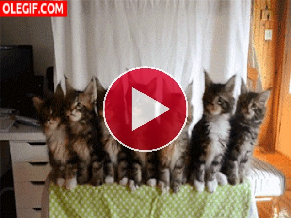 GIF: Estos gatitos están muy sincronizados