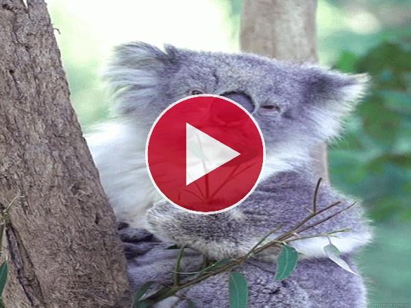 GIF: A este koala le encanta comer hojas de eucalipto