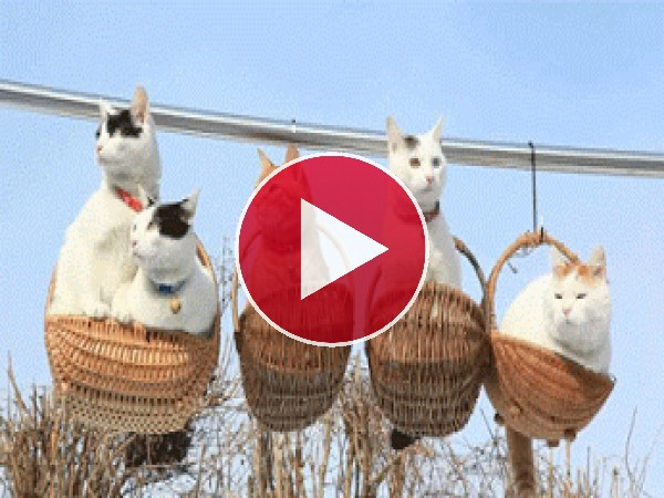 GIF: Estos gatos están muy comodos en las alturas