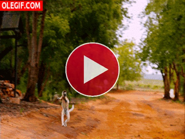 Lémur saltando por el camino