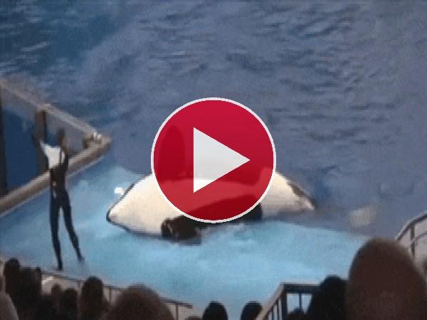 Mira a esta orca tirando al entrenador