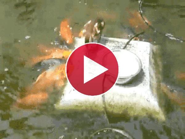 Mira a este pato repartiendo comida a los peces