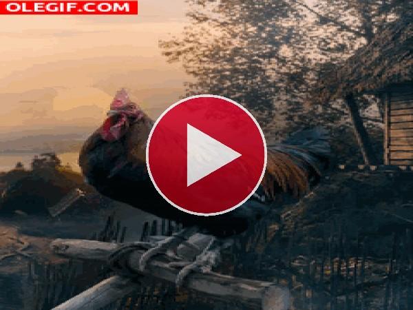 GIF: El canto del gallo