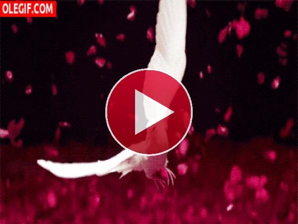 GIF: Paloma blanca batiendo sus alas