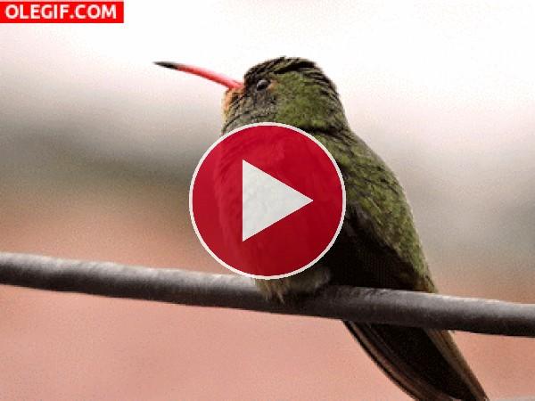 Este colibrí está observando el panorama