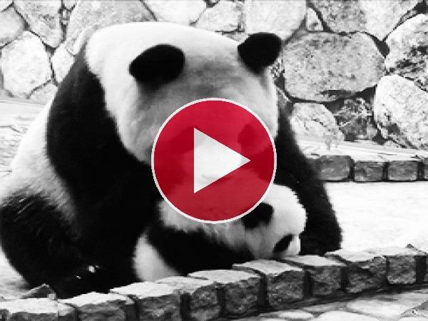 Mira a esta mamá panda cogiendo a su pequeño