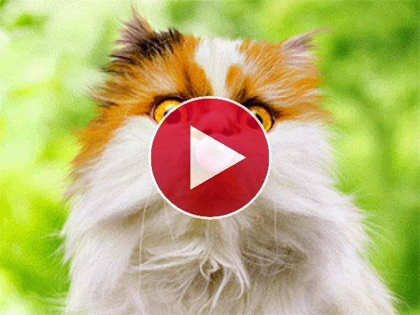 GIF: Gato haciendo pompas con el chicle