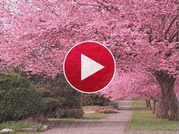 GIF: Lluvia cayendo sobre unos cerezos en flor
